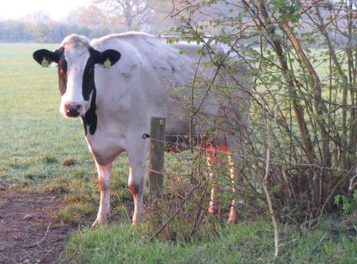 Milch von glücklichen Kühen